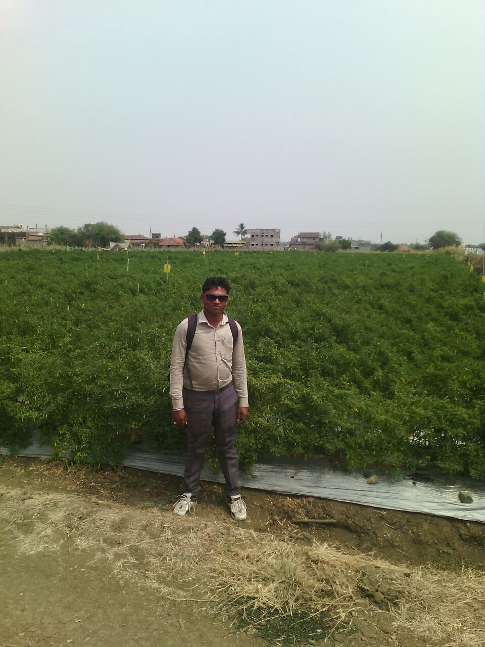 Chilly Field in Nagpur