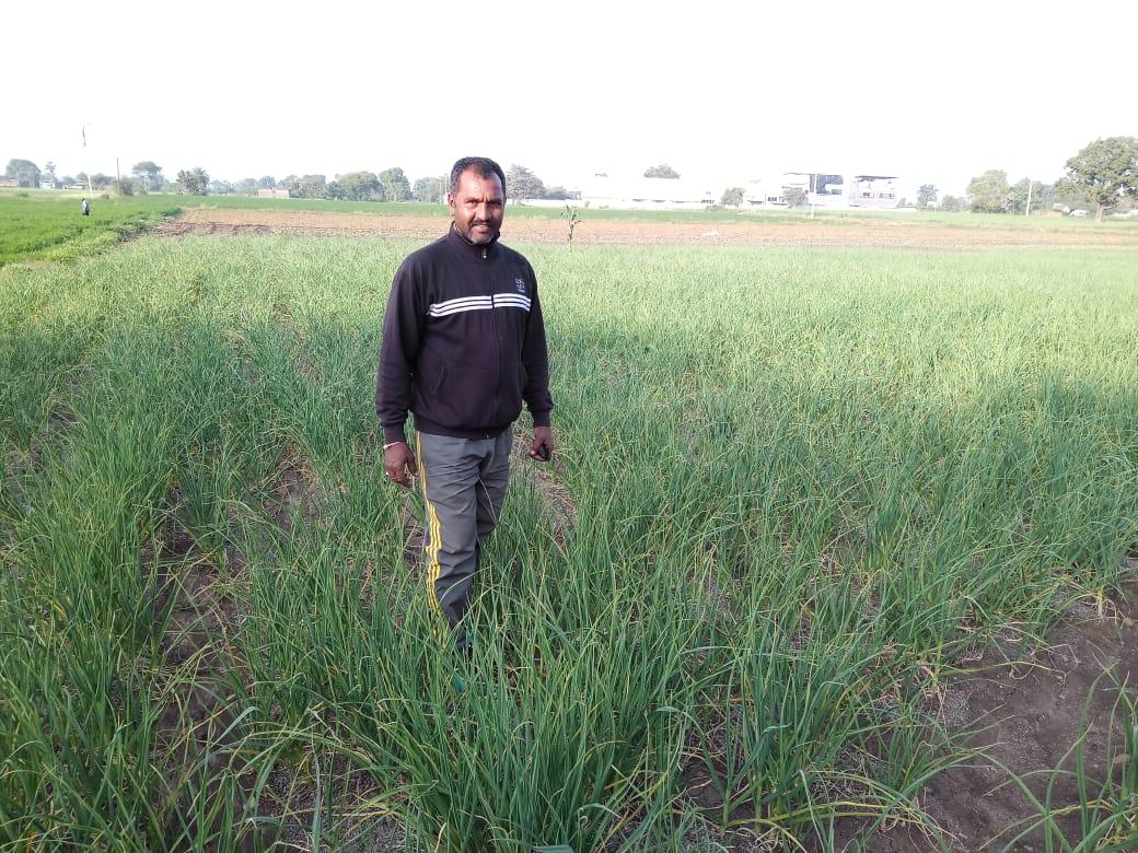 Garlic Field At Indore